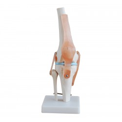 Model kolana
