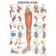 Tablica anatomiczna KOŃCZYNA DOLNA