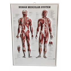 Anatomical poster 3D HUMAN MUSCULAR SYSTEM