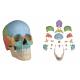 Czaszka człowieka - osteopatyczna, kolorowa - 22 części