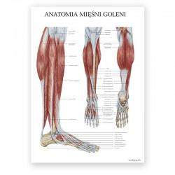Plakat anatomiczny - budowa goleni