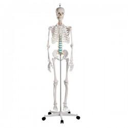 Szkielet z mięśniami 178 cm