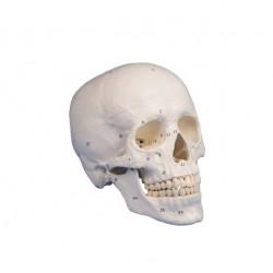 Модель черепа с частью шейного позвонка