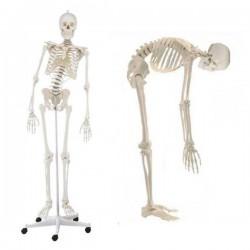 Elastyczny szkielet człowieka z ruchomym kręgosłupem - 176 cm