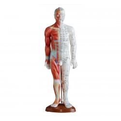Model mężczyzny 55cm przedstawiający punkty akupunkturowe i mięśnie