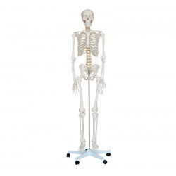 Life-Size Skeleton 180cm Tall