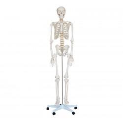 Naturalnej wielkości szkielet 180 cm