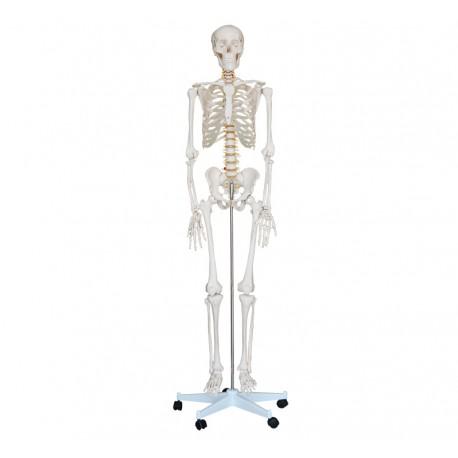 Life-Size Skeleton 180cm Tall