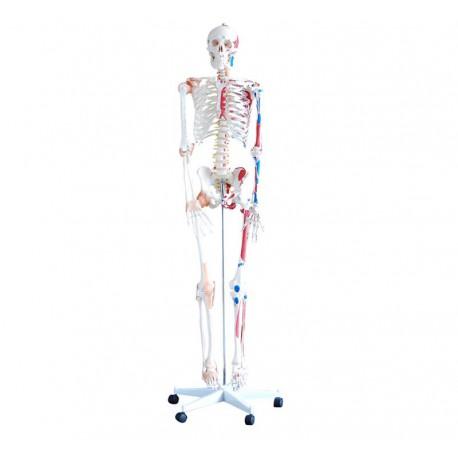 Szkielet z mięśniami 180 cm