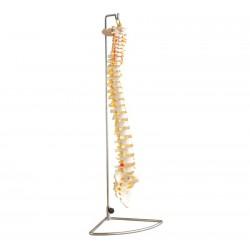 Szkielet kręgosłupa